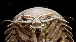 Vue de face du Bathynomus raksasa, une nouvelle espèce de bathynome géant (Photo : SJADES 2018)