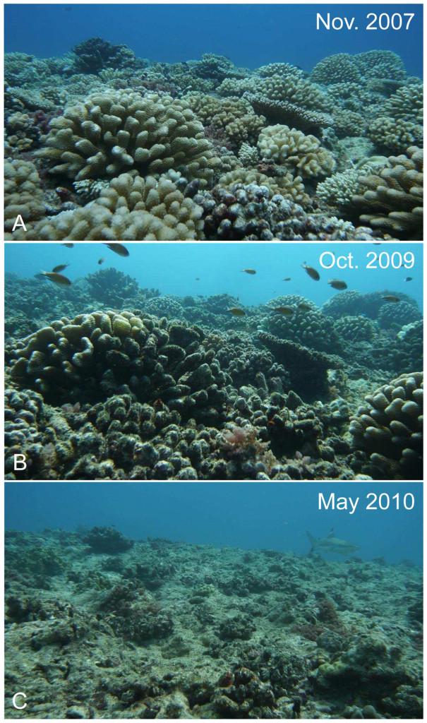 Un récif corallien (Moorea) détruit en quelques années par les étoiles de mer épineuses.