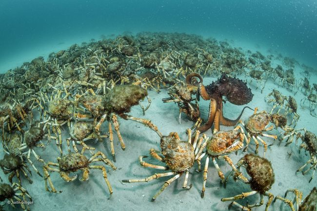Crab surprise © Justin Gilligan