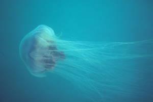 La méduse à crinière de lion © Derek Keats