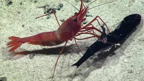 Des chercheurs américains ont filmé le combat féroce entre une crevette (Heterocarpus) et un poisson dragon, dans l'océan Pacifique, à environ 1000 mètres de profondeur © Image courtesy of the NOAA Office of Ocean Exploration and Research, Discovering the Deep: Exploring Remote Pacific MPAs.