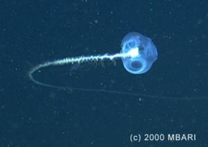 Certains siphonophores de l'espèce Praya sont probablement les animaux les plus longs du monde © MBARI