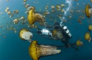 La méduse dorée
