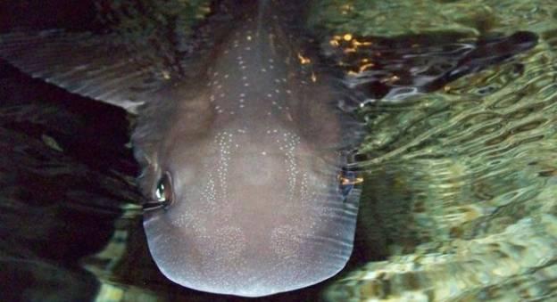 L'émissole tachetée vit dans les eaux normandes (Mustellus asterias) © La Cité de la Mer