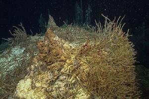Des communautés animales ont colonisées ces sources hydrothermales © 2015 MBARI