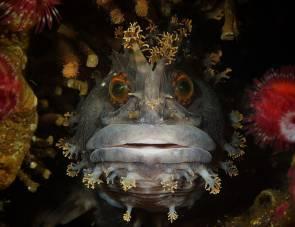 Le poisson Chirolophis japonicus © Andrey Shpatak