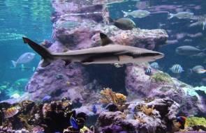 Requin pointes noires © La Cité de la Mer