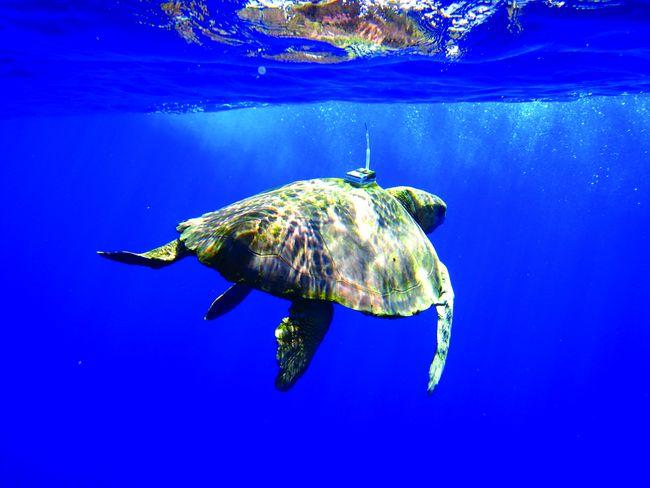 Le système Kinéis permettra, par exemple, de suivre et d'étudier de manière encore plus efficace les animaux équipés de balises, comme cette tortue. © Kinéis