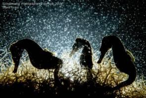 Seahorse Density © Shane Gross/UPY 2018 - Macro winner