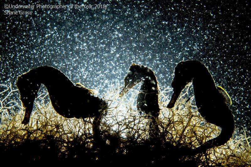 Seahorse Density © Shane Gross/UPY 2018 - Macro winnerr