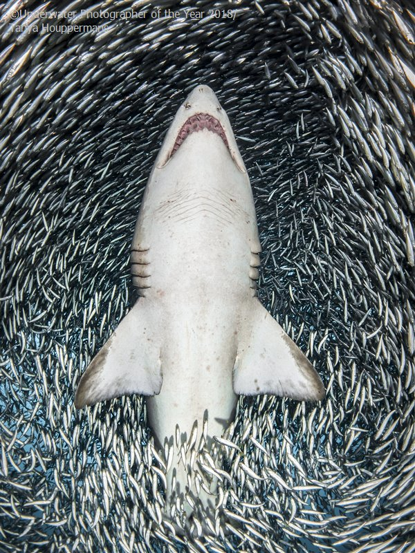 A sand tiger shark surrounded by tiny bait fish © Tanya Houppermans / UPY 2018 - Portrait winner