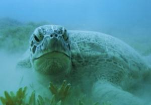 La tortue verte